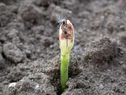 Pythium Tohum Çürüklüğü-Çökerten-Kök Çürüklüğü-Yumuşak Çürüklük