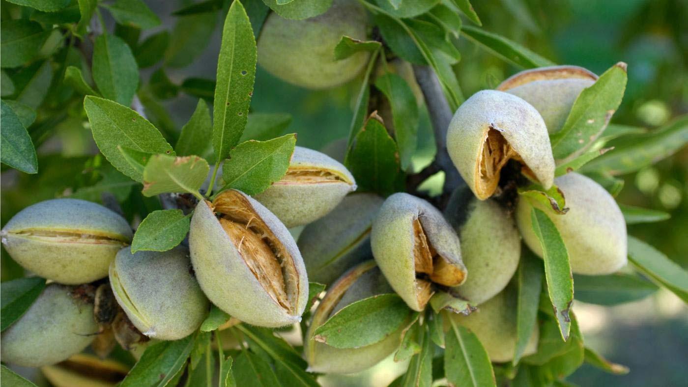 black almond tree removal - 936×622