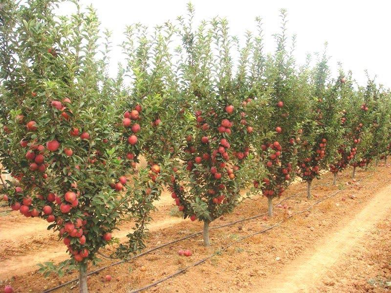 Bodur Meyve Yetiştiriciliği