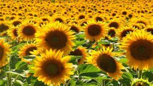 Yağlık AyÇiçeği Tarımı